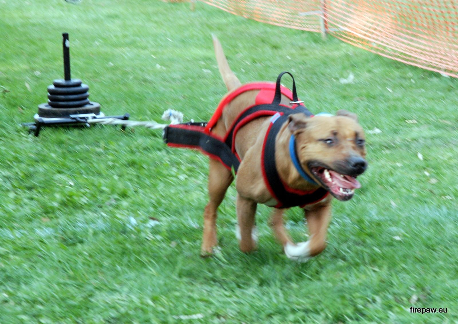 Dog Weight Pulling Training